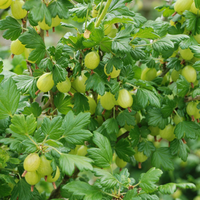 Grow gooseberries