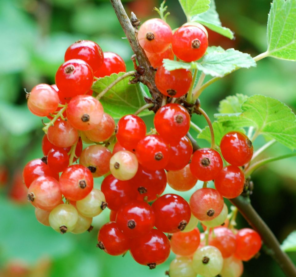grow red currants