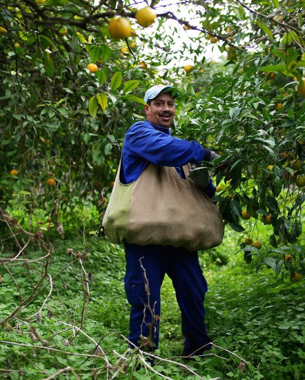 Picking Ave maria seville oranges