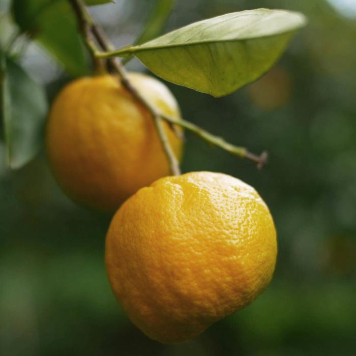 Ave Maria seville oranges